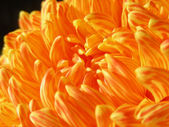 Fall Mum — Stock Photo
