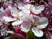 Rigogliosi fiori di ciliegio — Foto Stock