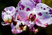 Spotty Orchid — Stock Photo