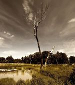 Cottonwoods — Photo