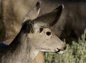 Beyaz kuyruklu geyik — Stok fotoğraf