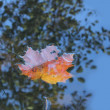 Autumn maple leaf — Foto de Stock