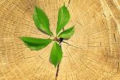 Tree stump and green plant — Stock Photo