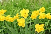 Daffodil close up — Stock Photo