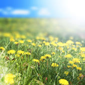 Yellow marigold flowers — Stock Photo