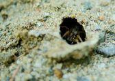 Wolf Spider (Alopecosa cuneata) — Stok fotoğraf