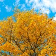 Foto Stock: Vivid autumnal leafage over blue sky