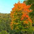 Stockfoto: Vivid autumnal leafage over blue sky