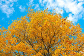Vivid autumnal leafage over blue sky — Photo