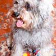 Funny active mini schnauzer isolated over colorful red carpet - Zdjęcie stockowe