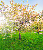 Beautiful blooming of decorative white apple and fruit trees ove — Zdjęcie stockowe