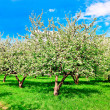 Floral apple trees over blue sky in spring park - Stok fotoğraf