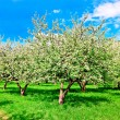 Floral apple trees over blue sky in spring park - Stock fotografie