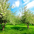 Floral apple trees over blue sky in spring park - Foto de Stock