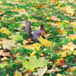 Pretty squirrel in autumn forest — Stock Photo