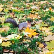 Pretty squirrel in autumn forest — Stock Photo #25213295