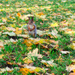 Pretty squirrel in autumn forest — Stock Photo #25213329