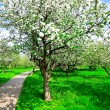 Apple tree in orchad — Stock Photo