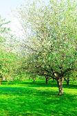 Apple trees garden — Stock Photo