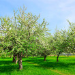 Apple trees in park — Stock Photo