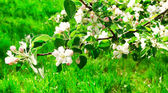 Apple branches in florescence — Stock Photo