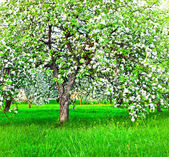 Blooming of decorative white apple and fruit trees — Zdjęcie stockowe