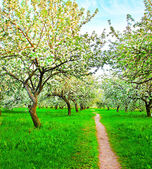 Blooming of decorative white apple and fruit trees — Stock Photo