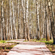 Birch Alley — Stock Photo #25378821