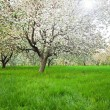 Blooming of apple and fruit trees — Stock Photo