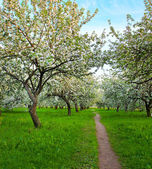 Blooming apple trees in spring park — Stock Photo