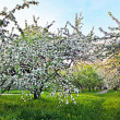 beautiful blooming of decorative white apple and fruit trees over bright blue sky in colorful vivid spring park full of green grass by dawn early light with first sun rays, fairy heart of nature — Stock Photo