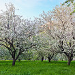 Beautiful blooming of decorative white apple and fruit trees over bright blue sky in colorful vivid spring park full of green grass by dawn early light with first sun rays, fairy heart of nature — Stock Photo #25386183