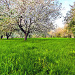 Beautiful blooming of decorative white apple and fruit trees over bright blue sky in colorful vivid spring park full of green grass by dawn early light with first sun rays, fairy heart of nature — Stock Photo #25386455