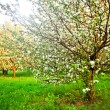Beautiful blooming of decorative white apple and fruit trees over bright blue sky in colorful vivid spring park full of green grass by dawn early light with first sun rays, fairy heart of nature — Stock Photo #25386755