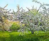 Blooming of apple and fruit trees — Zdjęcie stockowe