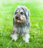 Portrait of active mini schnauzer in nature — Stock Photo