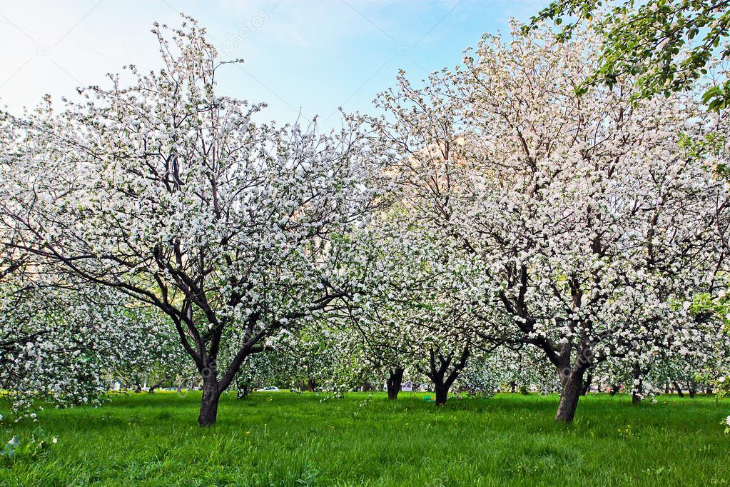 Bella fioritura del decorativi bianchi apple e alberi da for Alberi da frutto prezzi