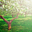 Beautiful blooming of decorative white apple and fruit trees over bright blue sky in colorful vivid spring park full of green grass by dawn early light with first sun rays, fairy heart of nature — Stock Photo #25390091