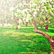 Beautiful blooming of decorative white apple and fruit trees over bright blue sky in colorful vivid spring park full of green grass by dawn early light with first sun rays, fairy heart of nature — Foto de Stock
