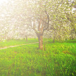 Beautiful blooming of decorative white apple and fruit trees over bright blue sky in colorful vivid spring park full of green grass by dawn early light with first sun rays, fairy heart of nature — Stock Photo #25398379