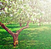 Piękny kwitnący dekoracyjne białe jabłko i owoce drzew nad błękitnym niebem w kolorowe, żywe wiosna parku zielona trawa przez świt początku światła pierwsze promienie słońca, bajki serca natury — Zdjęcie stockowe
