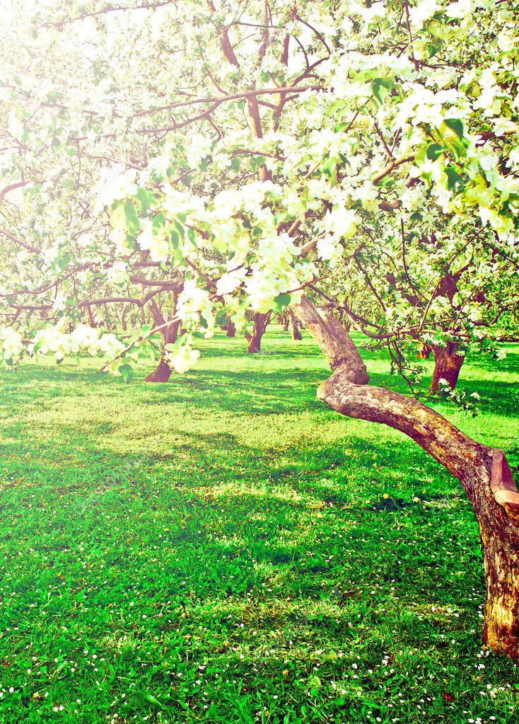 Фотообои Красиво цветущие декоративно-белое яблоко и фруктовые деревья более ярко-голубого неба в яркий красочный весенний парк, полный зеленой травы на рассвете рано света с первыми лучами солнца, феи сердце природы