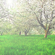 Beautiful blooming of decorative white apple and fruit trees over bright blue sky in colorful vivid spring park full of green grass by dawn early light with first sun rays, fairy heart of nature — Stock Photo #25413849