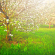 Beautiful blooming of decorative white apple and fruit trees over bright blue sky in colorful vivid spring park full of green grass by dawn early light with first sun rays, fairy heart of nature — Stock Photo #25415743