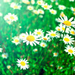 White Daisy Flowers on the Summer Meadow in Bright Sunshine — Stock Photo #25425301