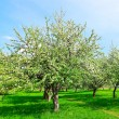 Blossom of apple trees in spring park — Stock Photo