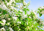 Background of bright beautiful apple branches in florescence — Stock Photo