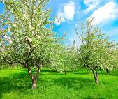 Bloeiende appelbomen en blauwe hemel in de lente park — Stockfoto