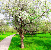 Spring blooming apple tree in bright green orchad — Stock Photo