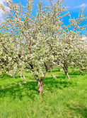 Bright blooming apple trees and blue sky in spring park — Stock Photo